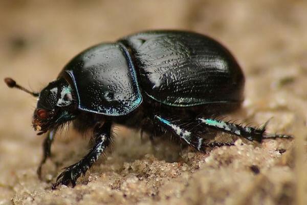 Навозник жук - фото, видео, чем питается, как выглядит и ...: http://wikidor.ru/14-navoznik-zhuk.html