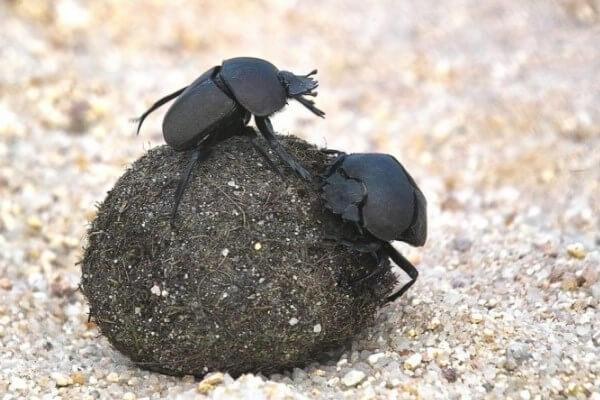 как выглядит жук навозник фото